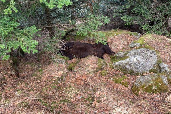 Le cadavre de Cachou retrouvé dans la forêt de Soberpera en Val d'Aran (Catalogne, Espagne)