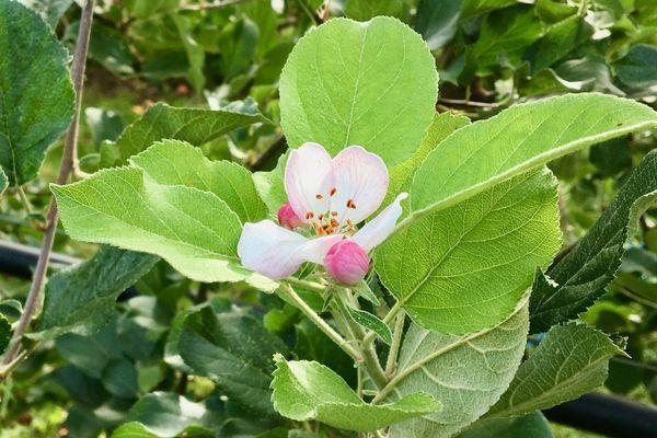 Un fleur de pommier au printemps
