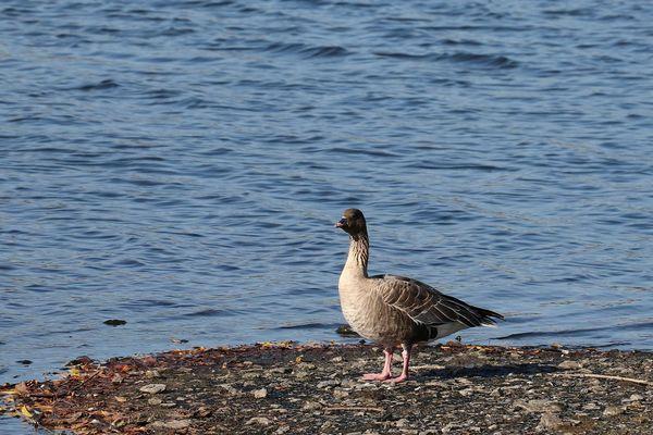 Canards, gallinules-poules d'eau, foulques macroule et grèbes huppés ... le site des Argales est devenu un refuge pour de nombreux oiseaux.