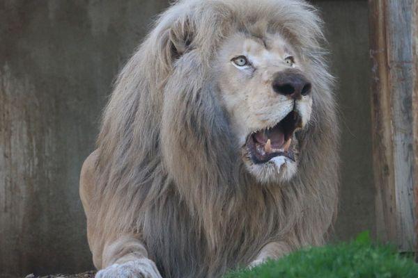 Une cinquantaine de lions ont été recueillis avant Safran par l'association