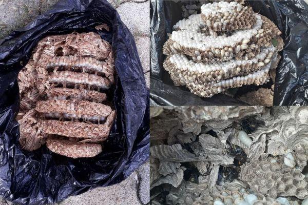 Les restes d'un nid de frelons asiatiques, détruit cet automne 2020 à Besançon
