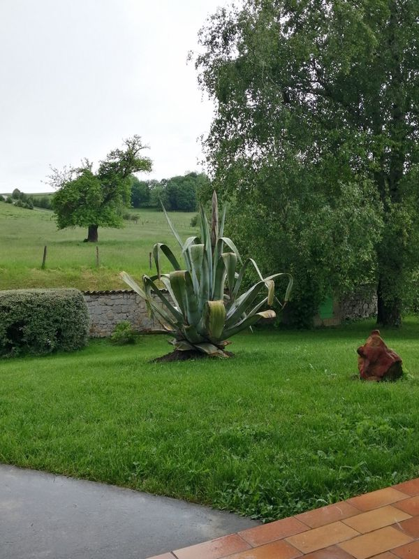 L'agave américain de la famille Schmitt pris en photo au moins de juin avant sa fulgurante croissance