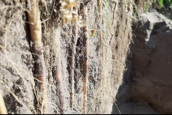 La carotte Terapur n'est pas adaptée à la consommation. Elle a été conçue pour tuer le nématode, un petit ver qui ravage les cultures.