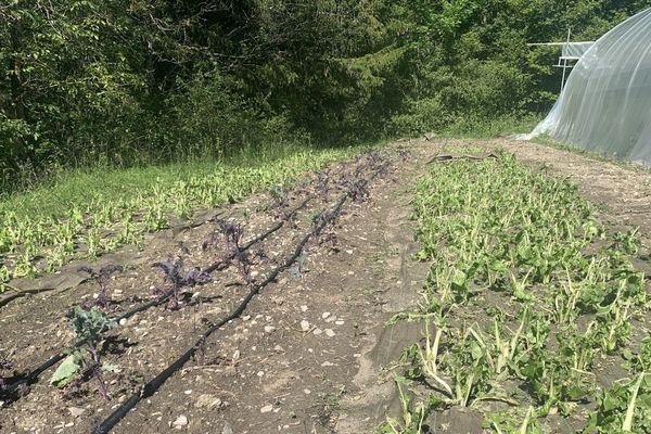 Certains plants ont été complètement détruits par la grêle.