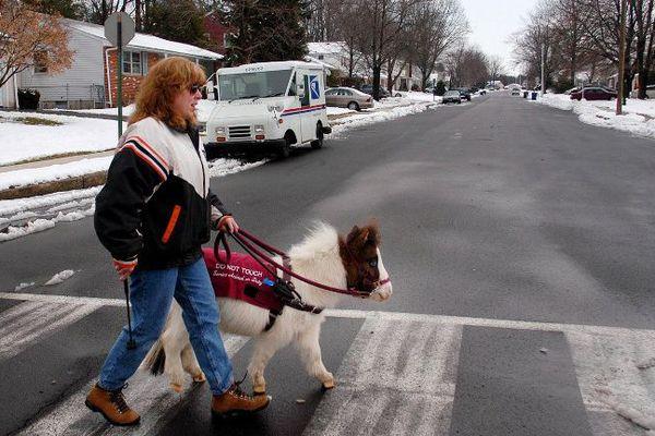 Aux Etats-Unis, de nombreuses personnes malvoyantes sont accompagnées de chevaux-nains.