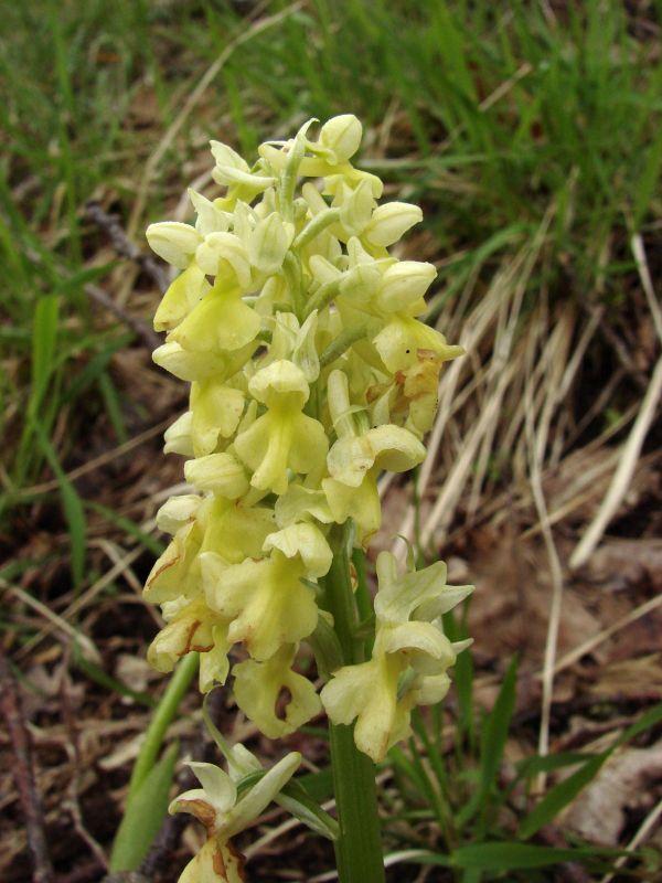 Dans le Cantal, l'orchis pâle est apparu. Cette espèce est surtout présente dans le milieu montagnard.