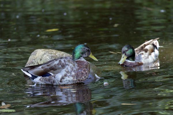 C'est la période de reproduction pour les canards colvert et d'autres espèces qui bénéficient d'un calme accru en cette période de confinement.