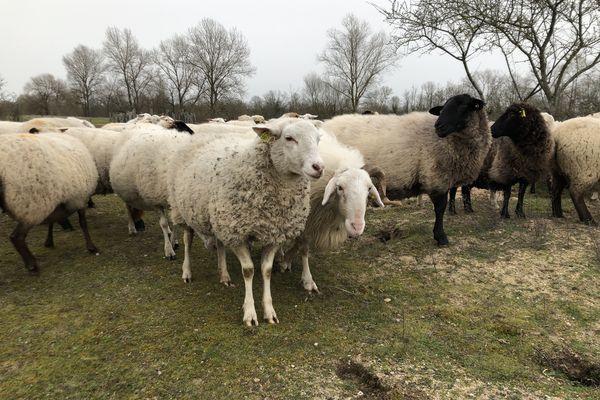Un troupeau de moutons.