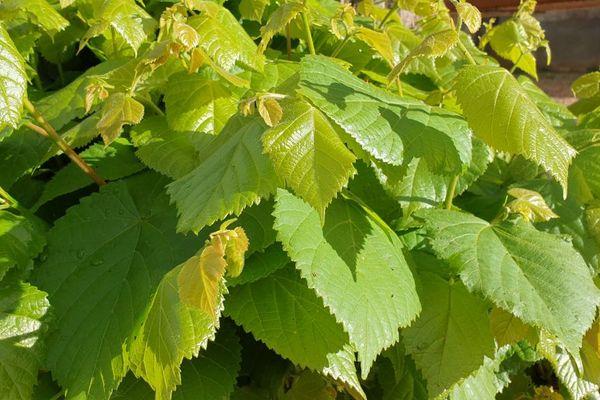 Adrien Descouls apprécie les feuilles de tilleul dans sa cuisine.