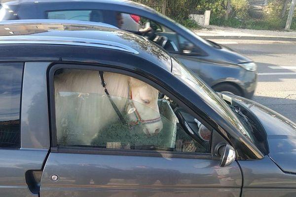 La police nationale a contrôlé un véhicule circulant avec un poney à son bord.