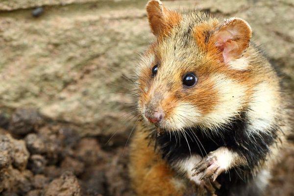 Le grand Hamster d'Alsace