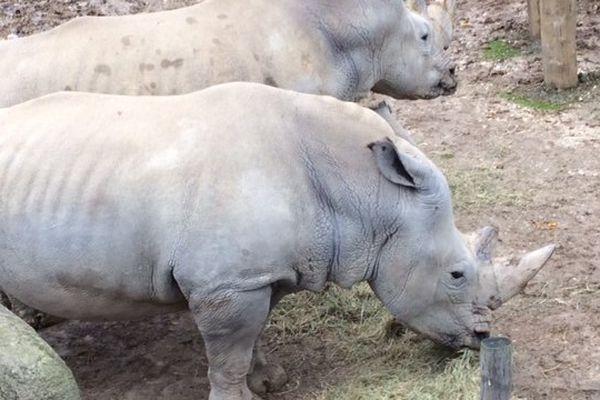 Les rhinocéros sont nourris au foin bio
