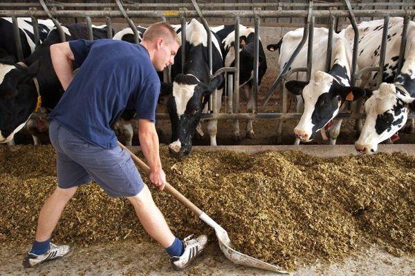Un jeune stagiaire d'un lycée agricole donne à manger aux vaches dans une exploitation.