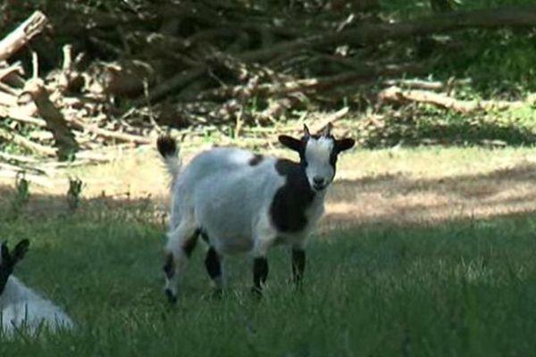 Tondeuse écologique : chèvre, mouton ou cheval?