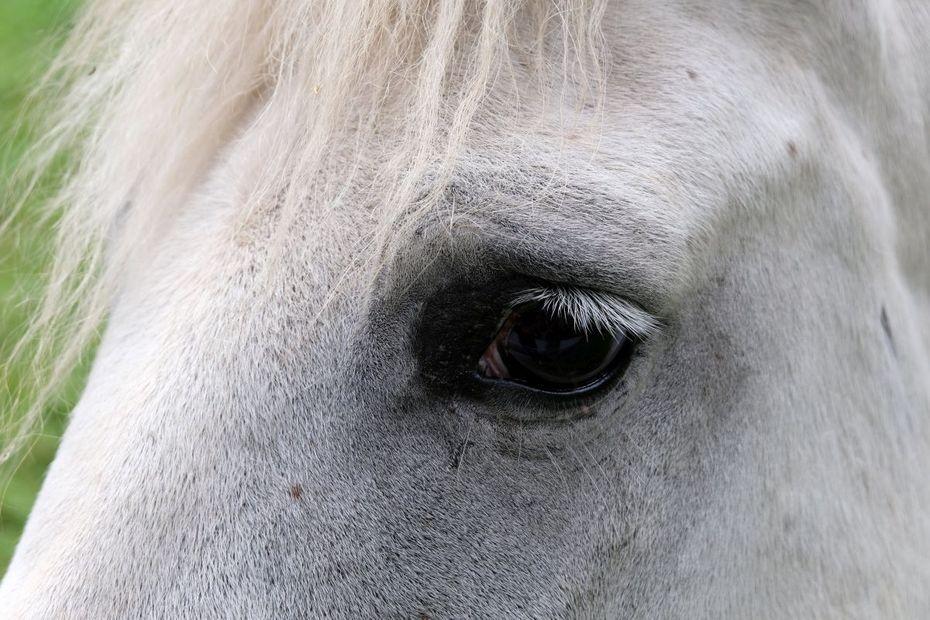 Allier : découverte du cadavre d'un cheval mutilé
