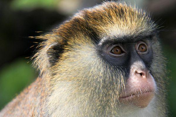 Deux singes de la race Mone de Campbell ont été volés à la station biologique de Paimpont. L'un d'entre eux a été retrouvé en Vendée.