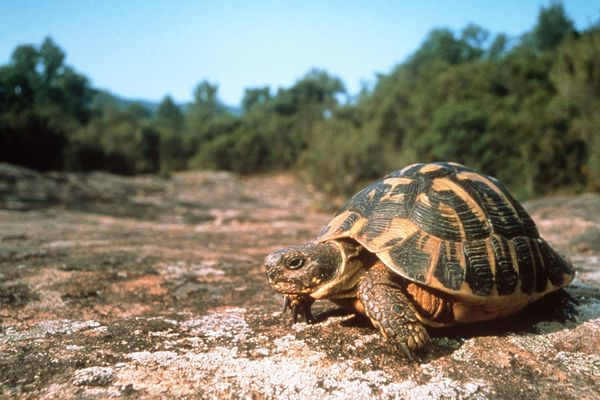 Illustration/ Les tortues d'Hermann, une espèce dont le bassin ajaccien abrite l'une des dernières populations encore significatives. Mais pour combien de temps ?