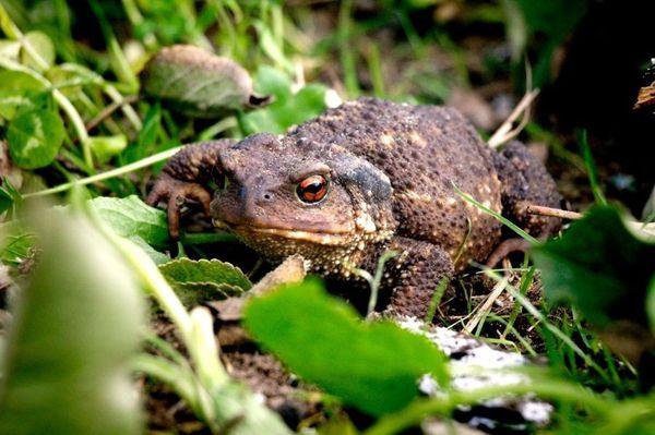 Tous les ans des milliers d'amphibiens se font écraser sur les routes lors de leur migration printanière.