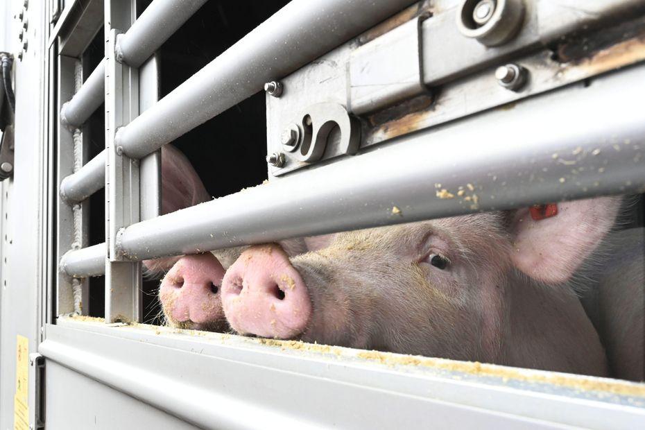 Dordogne : un camion transportant 130 cochons se couche sur la route