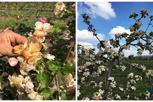 Les bourgeons et les fleurs ont gelé
