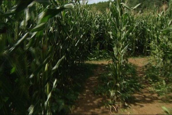 Le maïs revu et corrigé