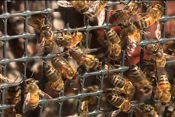 Les abeilles, des insectes dont la mortalité croissance inquiète les scientifiques.