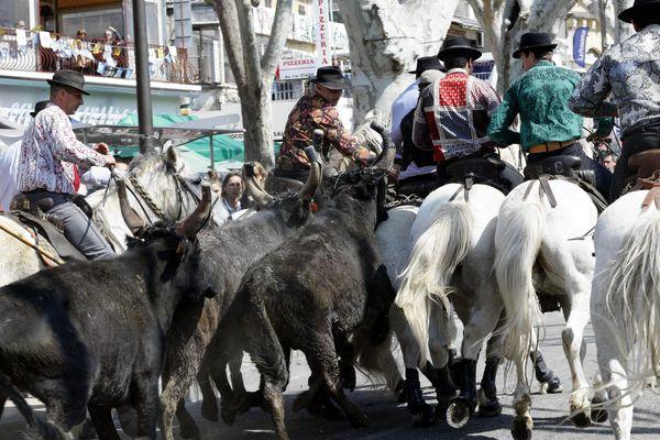 Les « attrapeurs » tentent de libérer les taureaux encadrés par les gardians.