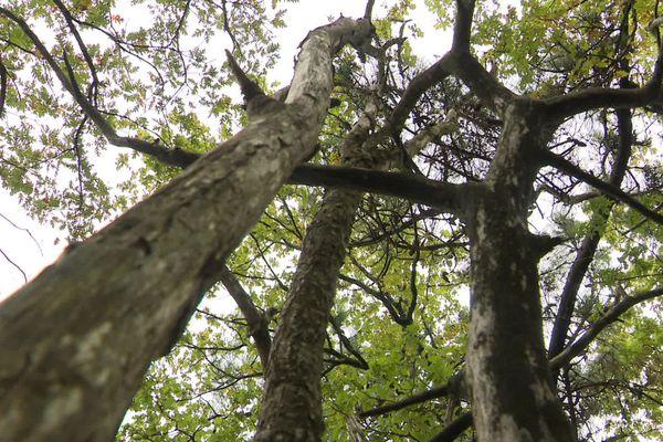 Les châtaigniers de Charente souffrent d'étés trop secs et d'hivers trop doux.