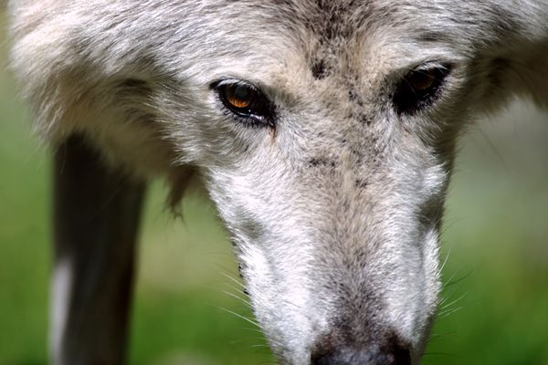 Un loup renversé par un véhicule à La Mole dans le Var