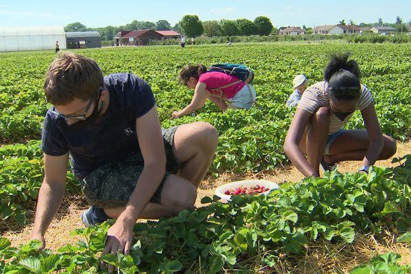 Dans ce champs en Côte d'Or, ce sont les consommateurs qui viennent cueillir les fraises