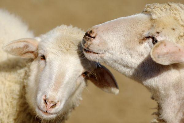 L'intervention aura permis d'évacuer 175 bêtes au cours de la journée (image d'illustration).