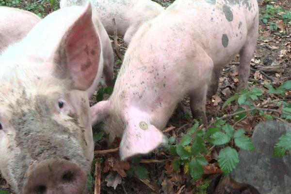 François Ménard achète ses cochons à un producteur de Gournay-en-Bray