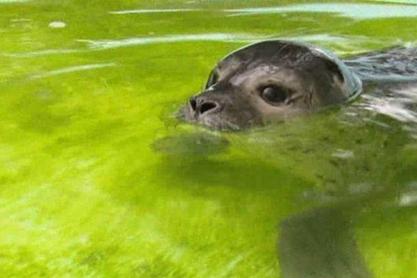 Le phoque retrouvé au Havre est âgé d'une quinzaine de jours