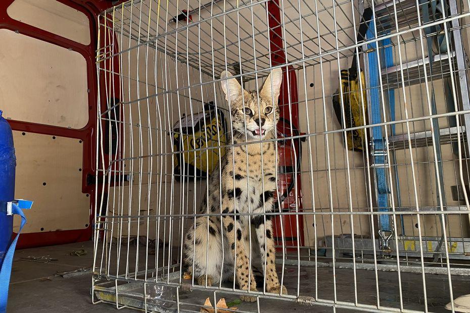 Insolite. Nîmes : un serval capturé par les pompiers près de l'entrée de l'autoroute A9