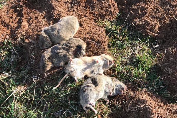 Voici des rats taupiers, un fléau que combattent les agriculteurs du Cantal.