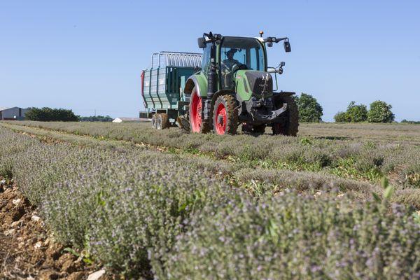 Dans la plaine d'Aunis, plus de 60 hectares de thym ont été plantés.