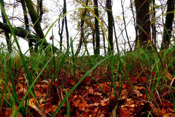 Les carex adorent les sols frais, humides voire détrempés. C'est une plante typique des zones humides. A l'étang de la Horre, il pousse sous les chênes.