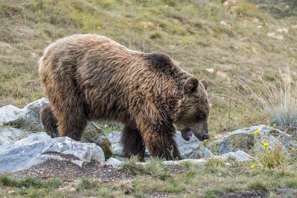 L'ours des Pyrénées, 2018.