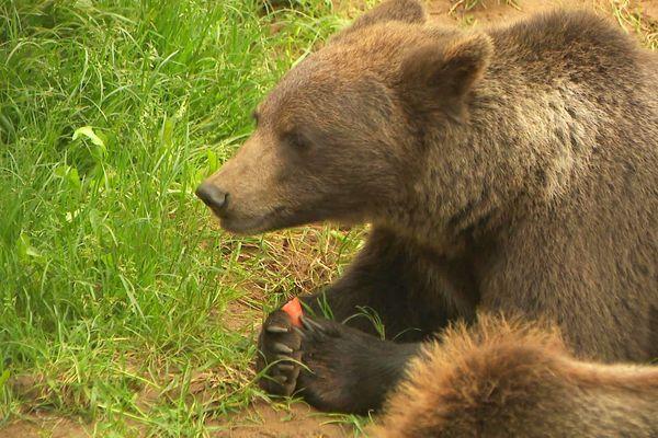Trois jeunes oursonnes viennent rejoindre leurs congénères au parc du Regourdou