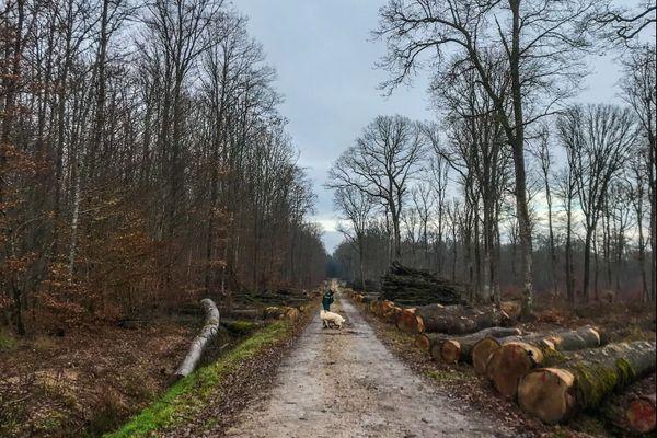 La forêt de Darney dans les Vosges, candidate au label Forêt d'Exception.