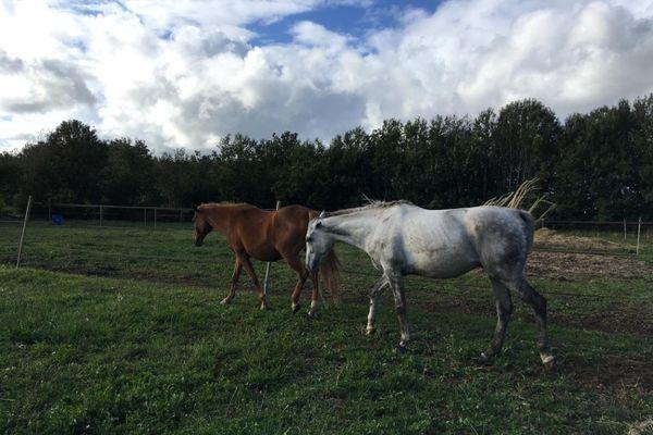 Ces deux chevaux à Bannalec (Finistère) ont été la cible de sévices dans la nuit du jeudi à vendredi 28 août