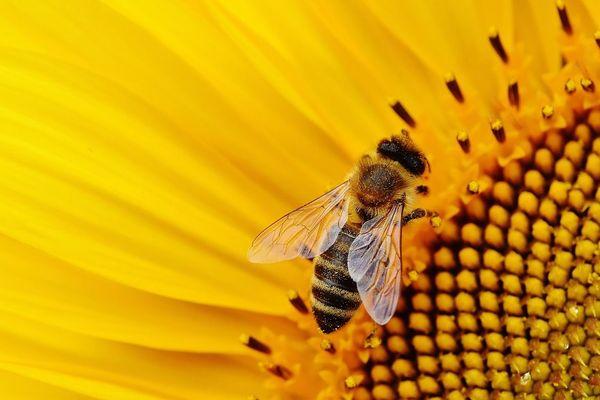 Parmi les illustrations du rôle économique de la biodiversité, les abeilles, qui ont un impact direct et majeur sur les rendements des champs. Photo d'illustration.