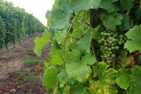 Les locaux testés, sur les communes de Cussac, Listrac et Macau, étaient situés entre 5 mètres, pour la plus proche, et 500 mètres de vignes. Photo d'illustration