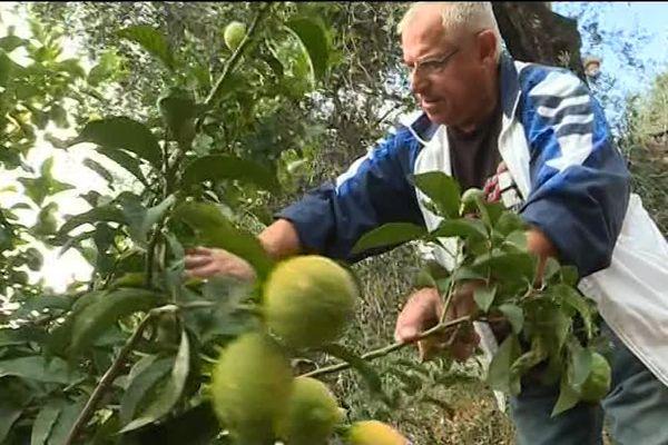 Pierre Ciabaud, producteur de citron de Menton, est inquiet pour sa récolte.