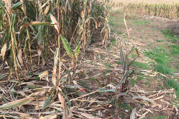 Cette parcelle de maïs a été endommagée par le passage d'un ou des sangliers