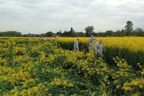 Les parcelles de colza détruites contenaient des variétés génétiquement modifiées.