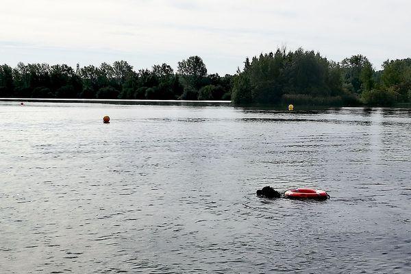 Gade, un terre-neuve, est entraîné à sauver des gens de la noyade.
