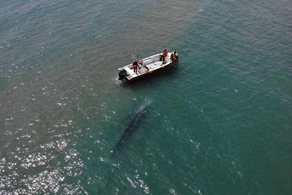 Fait exceptionnel en Méditerranée : un jeune spécimen de baleine a été observé près de Palavas. - 4 mai 2021
