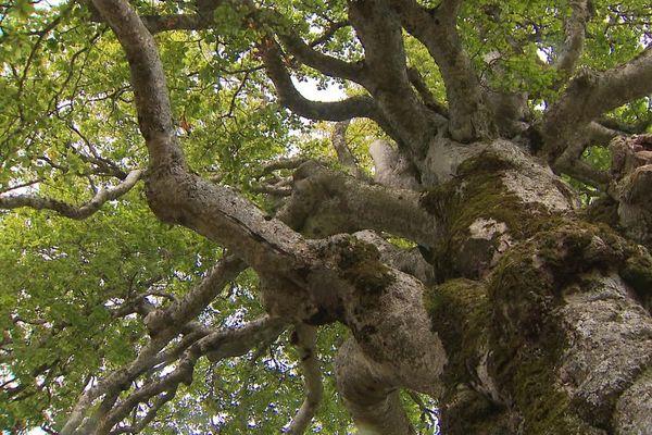 Grâce à un hêtre de Laqueuille, le Puy-de-Dôme compte désormais un nouvel arbre remarquable.