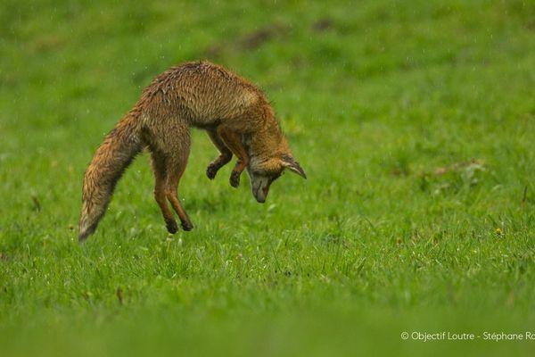 Un renard chasse au moins 5 000 campagnols par an, c'est un allié de l'agriculteur, selon Stéphane Raimond.